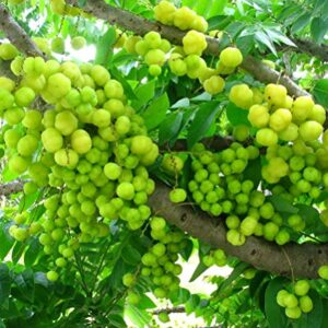 Have You Considered Amla To Improve Your Overall Health In Addition To Boost Immunity?